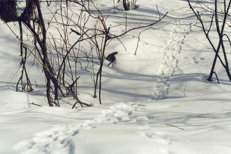 Ловля зайца на петли, как ставить петли на зайца